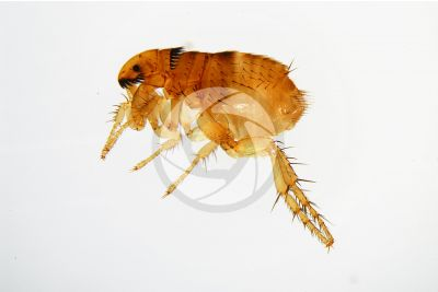 Ctenocephalides felis. Cat flea. Lateral view