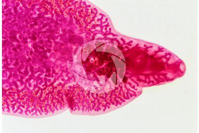 Fasciola hepatica. Common liver fluke. Fascioliosis. 6X