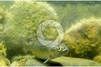Trout breeding. Oncorhynchus mykiss. Rainbow trout