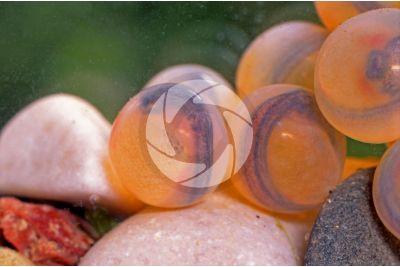 Salvelinus fontinalis. Salmerino di fonte. Embrioni
