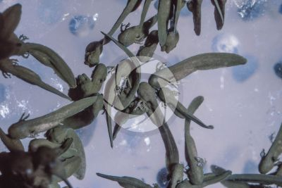 Rana temporaria. Common frog. Tadpoles. Stage of organogenesis