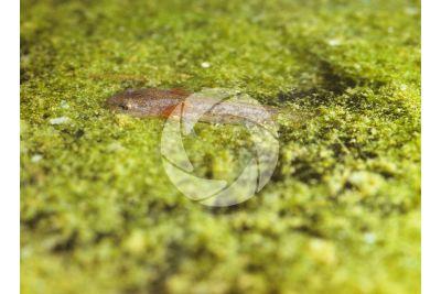 Triturus cristatus. Tritone crestato. Girino