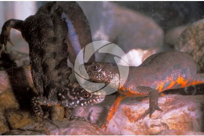 Triturus cristatus. Adult Northern crested newt. Female