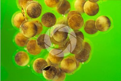 Xenopus laevis. African clawed frog. Eggs. Stage of blastula