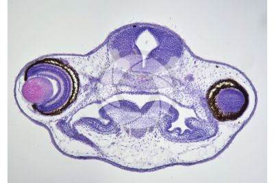 Xenopus laevis. African clawed frog. Tadpole. Stage of larva. Transverse section. 125X