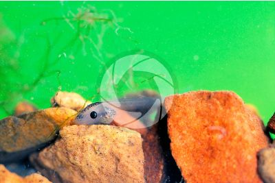 Xenopus laevis. African clawed frog. Tadpole. Stage of larva