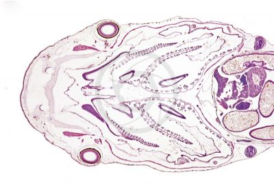 Xenopus laevis. African clawed frog. Tadpole. Eye. Stage of larva. Longitudinal section. 10X