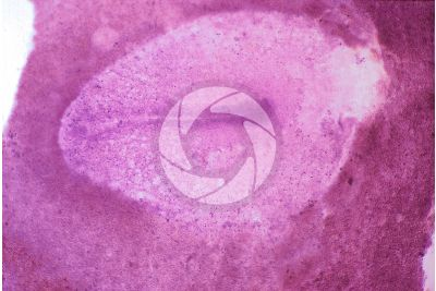 Gallus gallus domesticus. Chicken. Embryo. Stage of gastrulation and formation of the primary organs