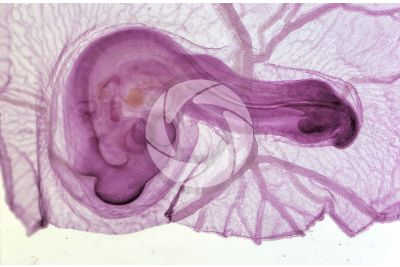 Gallus gallus domesticus. Chicken. Embryo. Stage of organogenesis