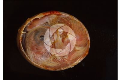 Gallus gallus domesticus. Chicken. Embryo