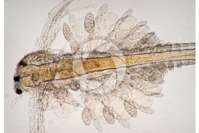 Artemia salina. Artemia salina. Adult crustacean