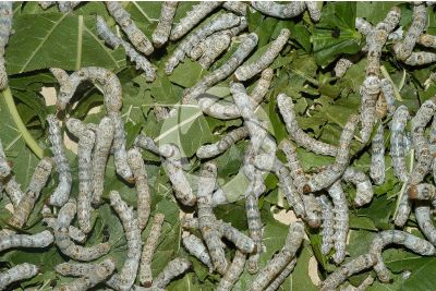 Bombyx mori. Silkworm. Larvae
