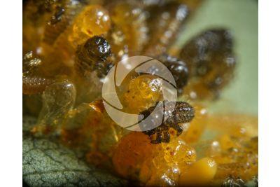 Chrysomela populi. Chrysomela populi. Larva. 15X