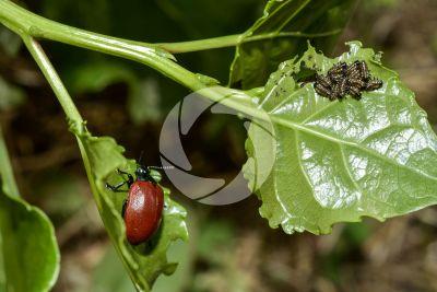 Chrysomela populi. Chrysomela populi. Larva