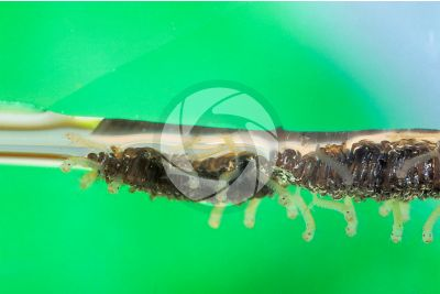Culex pipiens. Common house mosquito. Larva