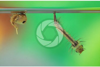 Culex pipiens. Zanzara comune. Larva e Pupa