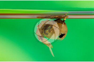 Culex pipiens. Common house mosquito. Pupa