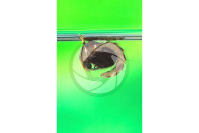 Culex pipiens. Zanzara comune. Pupa