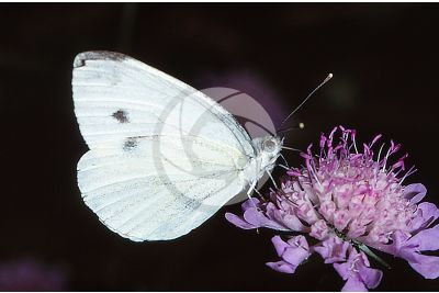 Pieris brassicae. Large white. Adult butterfly