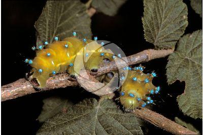 Saturnia pyri. Saturnia del pero. Larva