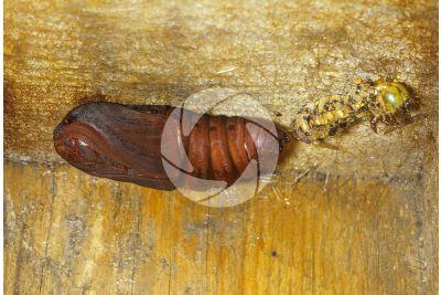 Saturnia pyri. Saturnia del pero. Pupa