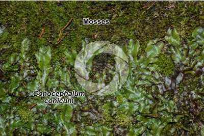 Conocephalum conicum. Great scented liverwort