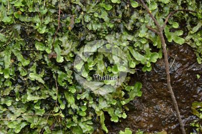 Conocephalum conicum. Great scented liverwort. Thallus
