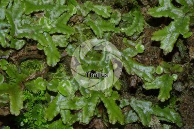 Conocephalum conicum. Great scented liverwort. Thallus
