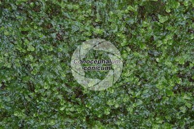 Conocephalum conicum. Epatica