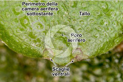 Conocephalum conicum. Epatica. Tallo