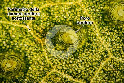 Conocephalum conicum. Epatica. Tallo. 50X