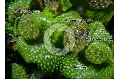 Conocephalum conicum. Great scented liverwort. Antheridiophore. 5X