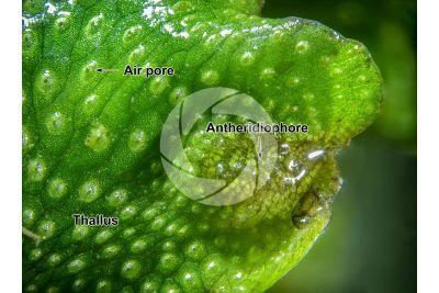 Conocephalum conicum. Great scented liverwort. Antheridiophore. 15X