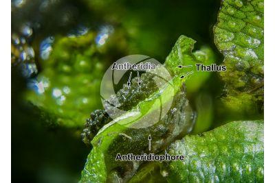Conocephalum conicum. Great scented liverwort. Antheridiophore. 7X