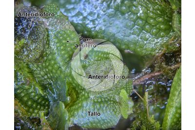 Conocephalum conicum. Epatica. Anteridioforo. 5X