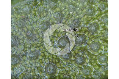 Conocephalum conicum. Epatica. Anteridioforo. 30X
