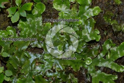 Conocephalum conicum. Great scented liverwort. Archegoniophore