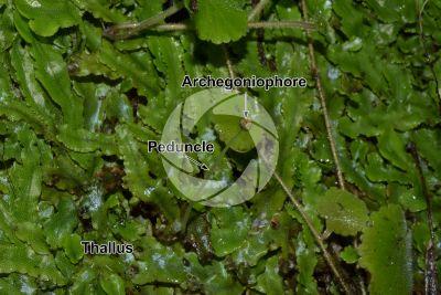Conocephalum conicum. Great scented liverwort. Archegoniophore