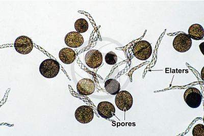 Conocephalum conicum. Great scented liverwort. Elaters and spores. 250X