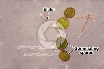 Conocephalum conicum. Great scented liverwort. Elaters and spores. 500X