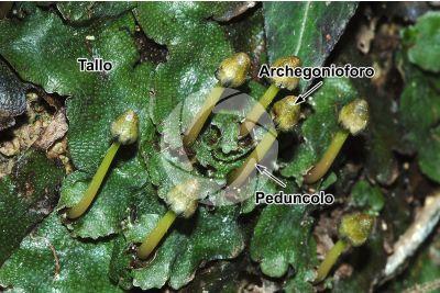Conocephalum conicum. Epatica. Archegonioforo