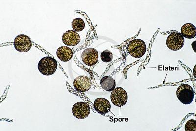 Conocephalum conicum. Epatica. Elateri e spore. 250X