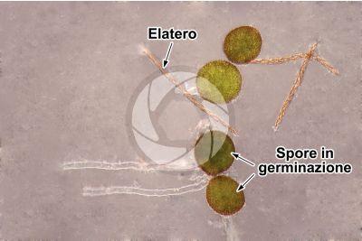 Conocephalum conicum. Epatica. Elateri e spore. 500X