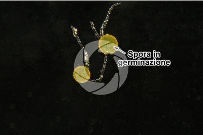 Conocephalum conicum. Epatica. Spore in germinazione. Campo scuro. 250X