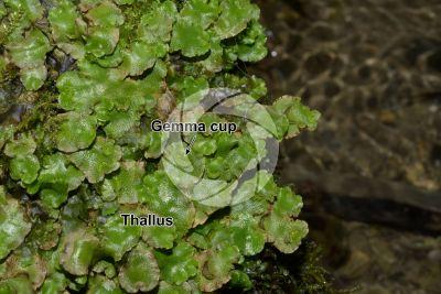 Lunularia cruciata. Thallus