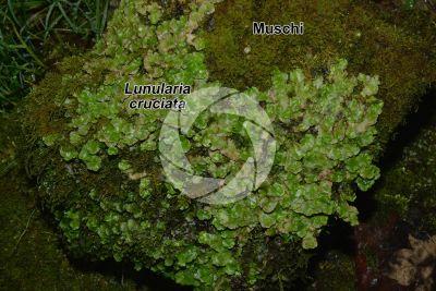 Lunularia cruciata