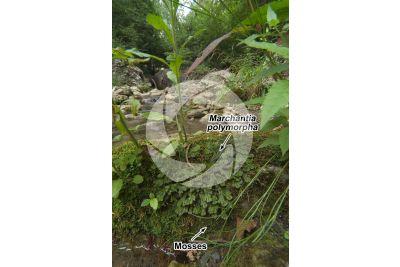 Marchantia polymorpha. Common liverwort