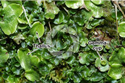 Marchantia polymorpha. Common liverwort. Thallus
