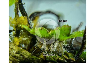 Marchantia polymorpha. Common liverwort. Thallus. 5X