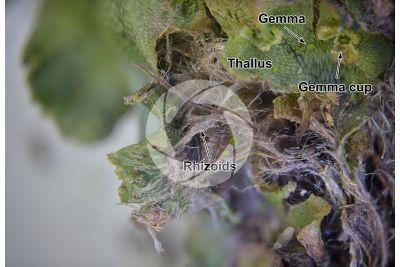 Marchantia polymorpha. Common liverwort. Thallus. 16X
